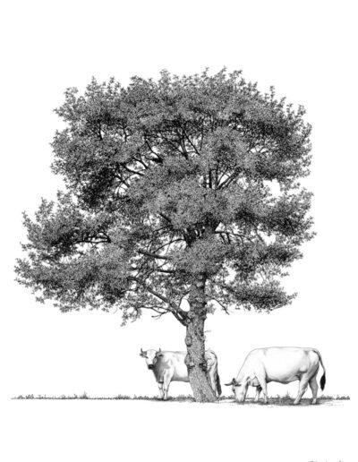 Chêne-vaches