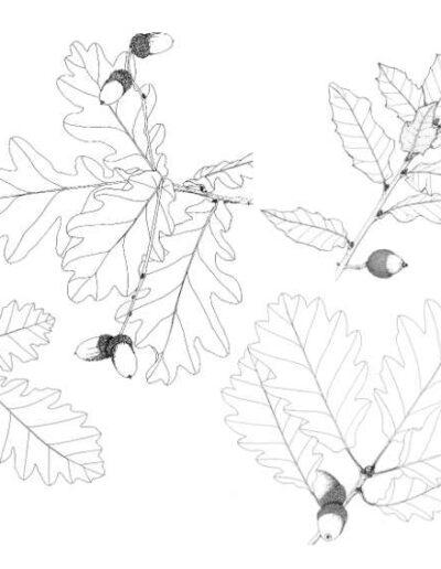 Chênes_feuilles