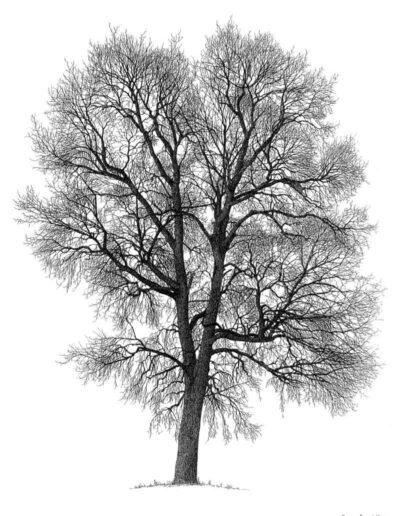 orme-champêtre