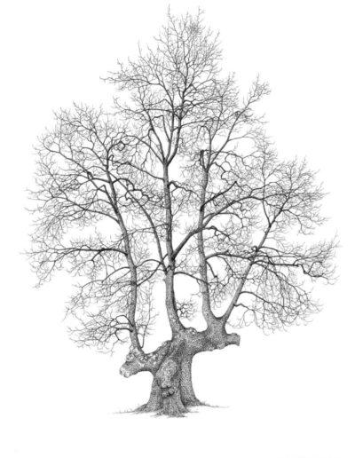 trogne de chêne pubescent